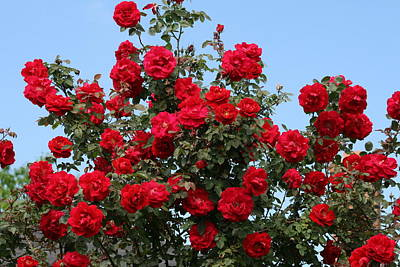 Red Climbing Roses Poster
