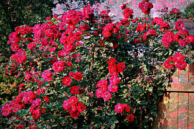 Red Climbing Roses With Texture Poster