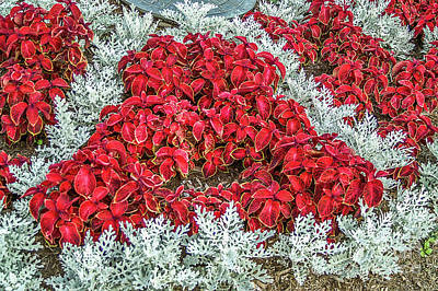 Poster featuring the photograph Red Coleus And Dusty Miller Plants by Sue Smith