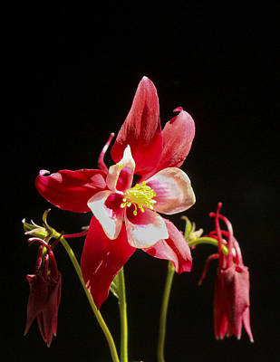 Red Columbine Flower Poster