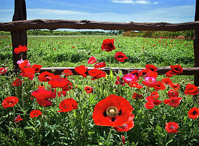 Red Corn Poppies At The Fence Poster by Lynn Bauer