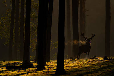 Red Deer In Golden Light Poster by Andy Luberti