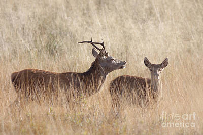 Red Deer Stag And Hind Poster