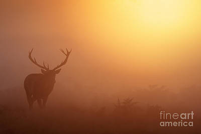 Red Deer Stag At Sunrise Poster