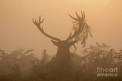 Red Deer Stag Cervus Elaphus Displaying At Sunrise With Bracken On Antlers Poster