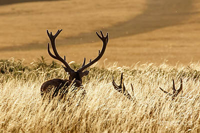 Red Deer Stags At Sunset Poster