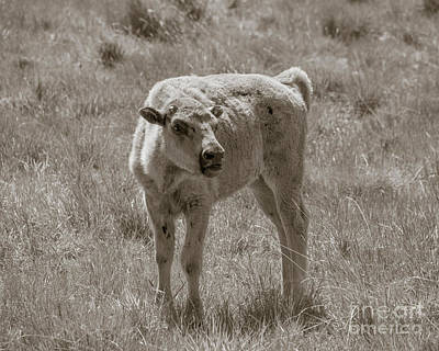 Poster featuring the photograph Red Dog Buffalo Calf by Rebecca Margraf
