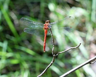 Poster featuring the photograph Red Dragonfly by Karen Silvestri