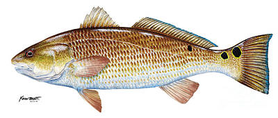 Red Drum  Redfish Poster by Kevin Brant