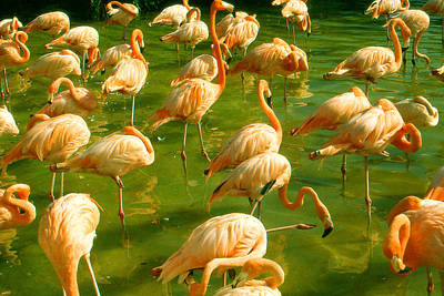 Red Florida Flamingos In Green Water Poster