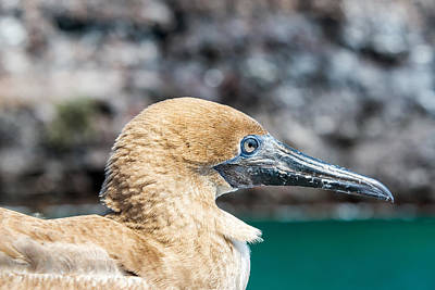 Red Footed Booby Juvenile Poster by Jess Kraft