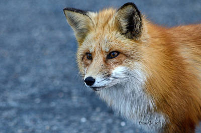 Red Fox Poster by Diane Giurco