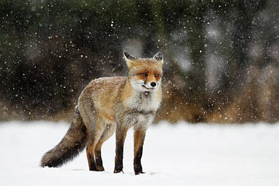 Red Fox In A Blizzard Poster by Roeselien Raimond
