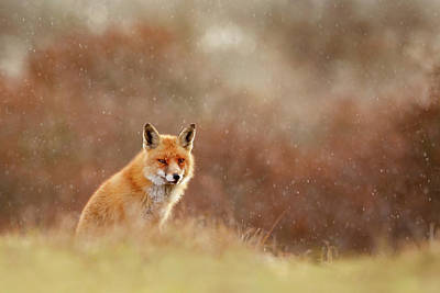 Red Fox In A Snow Shower Poster by Roeselien Raimond