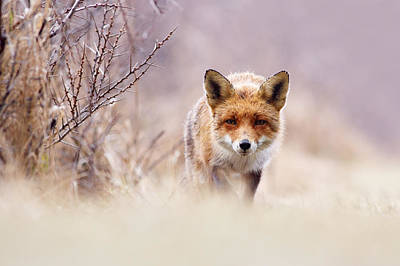 Red Fox In Pastels Poster