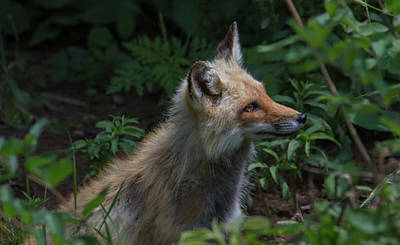 Red Fox In The Forest Poster