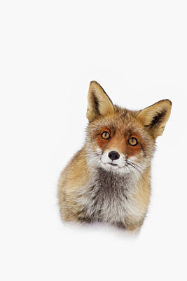 Red Fox In The Snow Portrait Poster