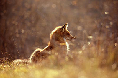 Red Fox In The Sun Poster by Roeselien Raimond