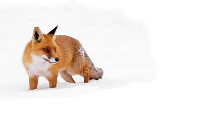 Red Fox In The White Snow Poster by Roeselien Raimond
