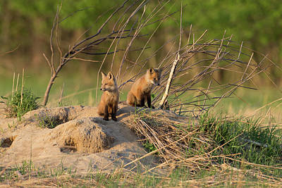 Red Fox Kits Keeping Watch Poster