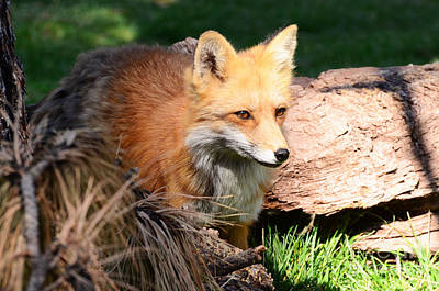 Red Fox On Patrol Poster