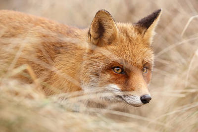 Red Fox On The Hunt Poster by Roeselien Raimond