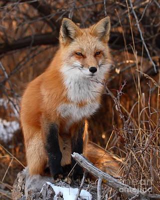 Red Fox Pausing Atop Log Poster