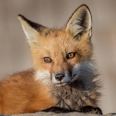 Red Fox Portrait Poster