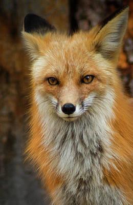 Red Fox Portrait Poster by John De Bord
