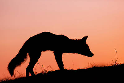 Red Fox Silhouette At Sunset Poster