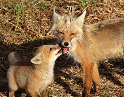 Red Fox Vixen With Pup On Hecla Island In Manitoba Poster
