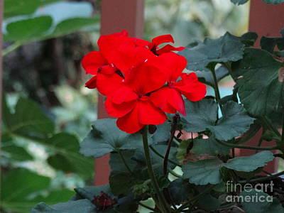 Red Garden Geranium Poster by Gina Sullivan