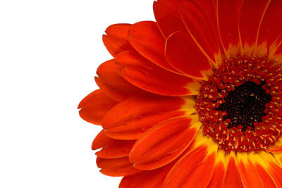 Red Gerbera Daisy Flower Poster by Norman Pogson
