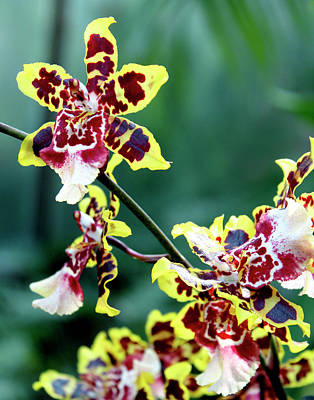 Striped Maroon And Yellow Orchid Poster