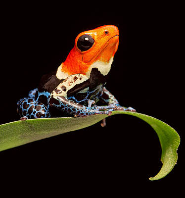Red Headed Poison Dar Frog Poster