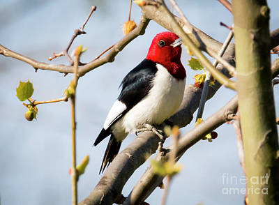 Poster featuring the photograph Red-headed Woodpecker At A Glace  by Ricky L Jones