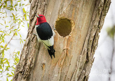 Poster featuring the photograph Red-headed Woodpecker At Home by Ricky L Jones