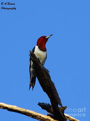 Red Headed Woodpecker On A Snag Poster