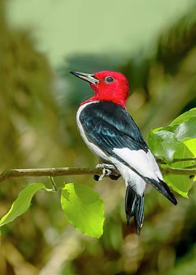 Red-headed Woodpecker Portrait Poster