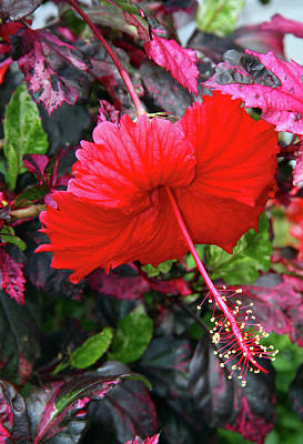 Red Hibiscus  Poster by Inspirational Photo Creations Audrey Woods
