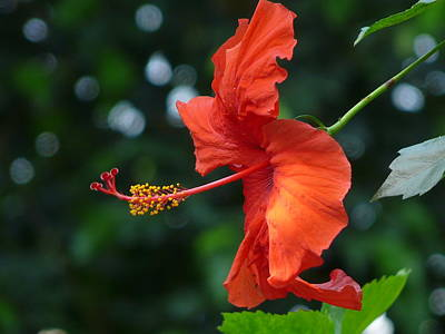 Red Hibiscus Poster by Valerie Ornstein