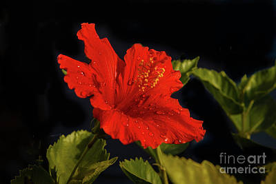 Red Hibiscus With Water Drops Poster