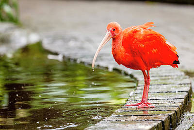Poster featuring the photograph Red Ibis by Alexey Stiop