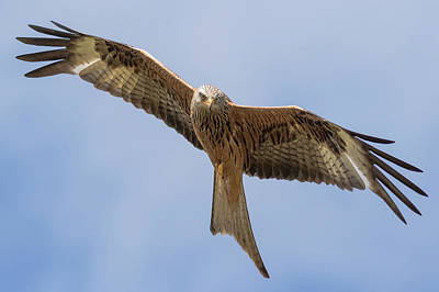 Red Kite Poster by Ian Hufton