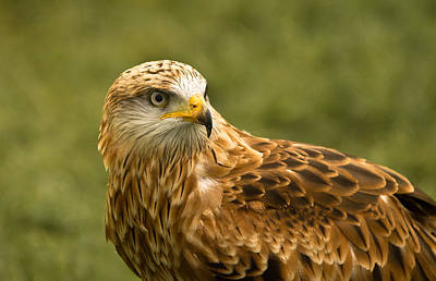 Poster featuring the photograph Red Kite by Scott Carruthers