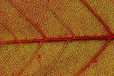 Red Leaf Macro Poster by Frank Tschakert