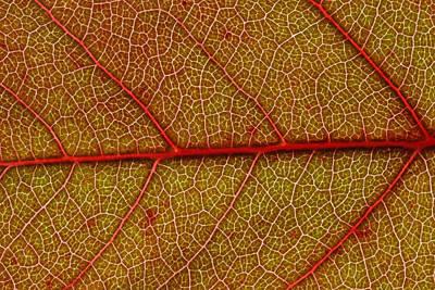 Red Leaf Macro Poster