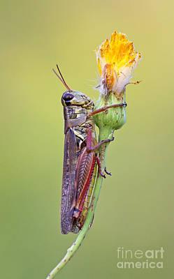 Red-legged Grasshopper In The Golden Autumn Light Poster