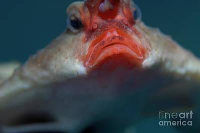 Red-lipped Batfish Poster