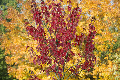 Red Maple Autumn  Poster
